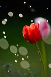Tulpe und der Regen