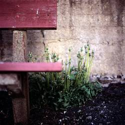 Dandelions and Bench