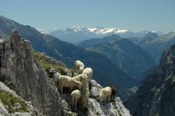 trittsichere Schafe