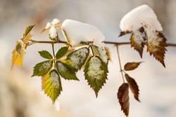 Blätter mit Schneehaube II