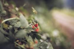 rote Beeren am Wegrand