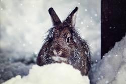 Schneehase Schnuffi