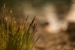Blühende Gräser am Seeufer III