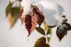 Blätter mit Schneehaube