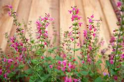 beautiful pink red salvias against a fence