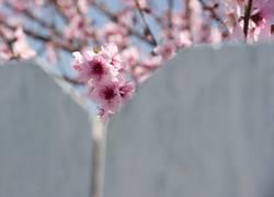 cherry blossom peeks