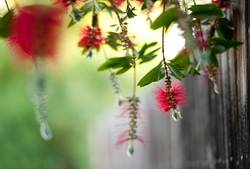 hanging bottlebrush in the wind