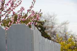 cherry blossom branches over the fence