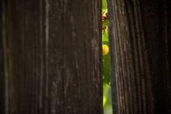 peek a boo cherry
