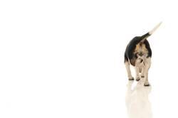 Beagle von hinten