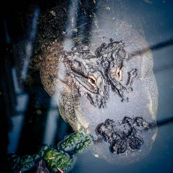 Krokodil II