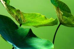 güner Lotus