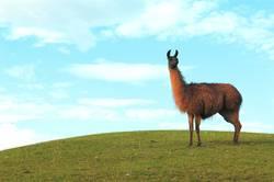 Lama und Hügel und schönes Wetter