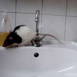 Frühschicht im Badezimmer eines Junggesellen
