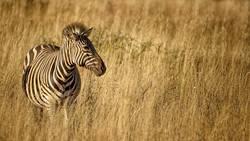 Zebra in der Steppe