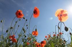 Mohnblumen der Sonne entgegen....