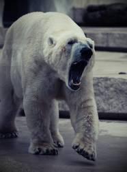 gebleichter Grizzly!
