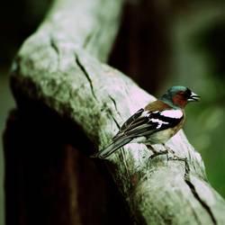 Der Buchfink
