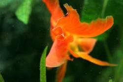 Fischgold