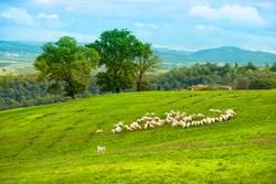 Schafherde in der Crete