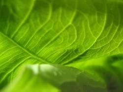 Green pulp