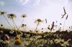 Kamille im Sommer