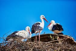 Drei Störche in einem Nest