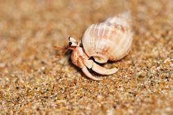 Einsiedlerkrebs läuft auf Sandstrand