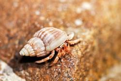 Einsiedlerkrebs schaut aus seiner Muschel