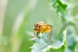 Schwebfliege (Syrphidae) auf einem Blatt
