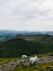 Schafe im Lake District