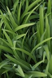 fresh green grass I