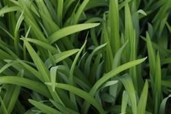 fresh green grass II
