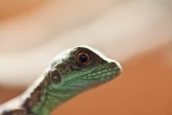 Reptil im Portrait