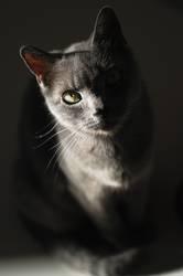 kleine graue katze