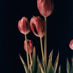 Tulpenpower 7
