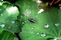 Fliege und Regen