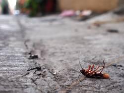 drunken cockroach