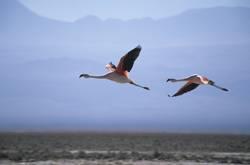 Flamingos im Flug