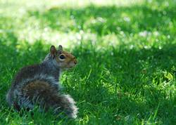 Squirrel at St. James Park