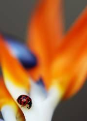 Feuerkäfer
