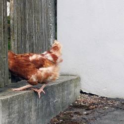 Schnell weg, sonst gibts Hühnersuppe