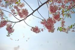 Für Dich solls rosa Kirschblüten regnen