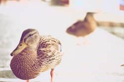 Duck die Ente