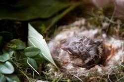 Piep-Nest