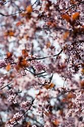 mehrblüten
