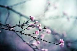 Kirschbaum in Frühling