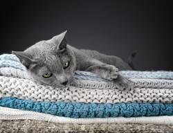 Russische Blau Katze