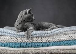 Russisch Blau Katze