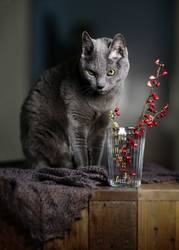 Russisch Blau Katze und rote Beeren